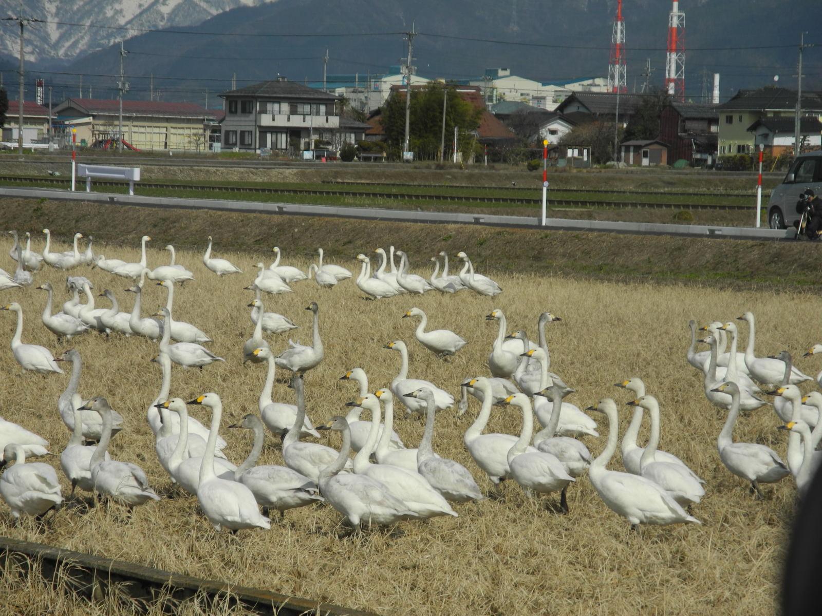 【白鳥】カモ目カモ科総合スレッド【雁】YouTube動画>18本 ->画像>159枚