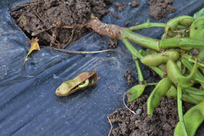 自分で育てた枝豆は美味いねぇ〜七莢 [転載禁止]©2ch.net YouTube動画>9本 ->画像>61枚